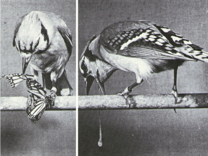 Dr. Lincoln' Brower's Barfing Blue Jay