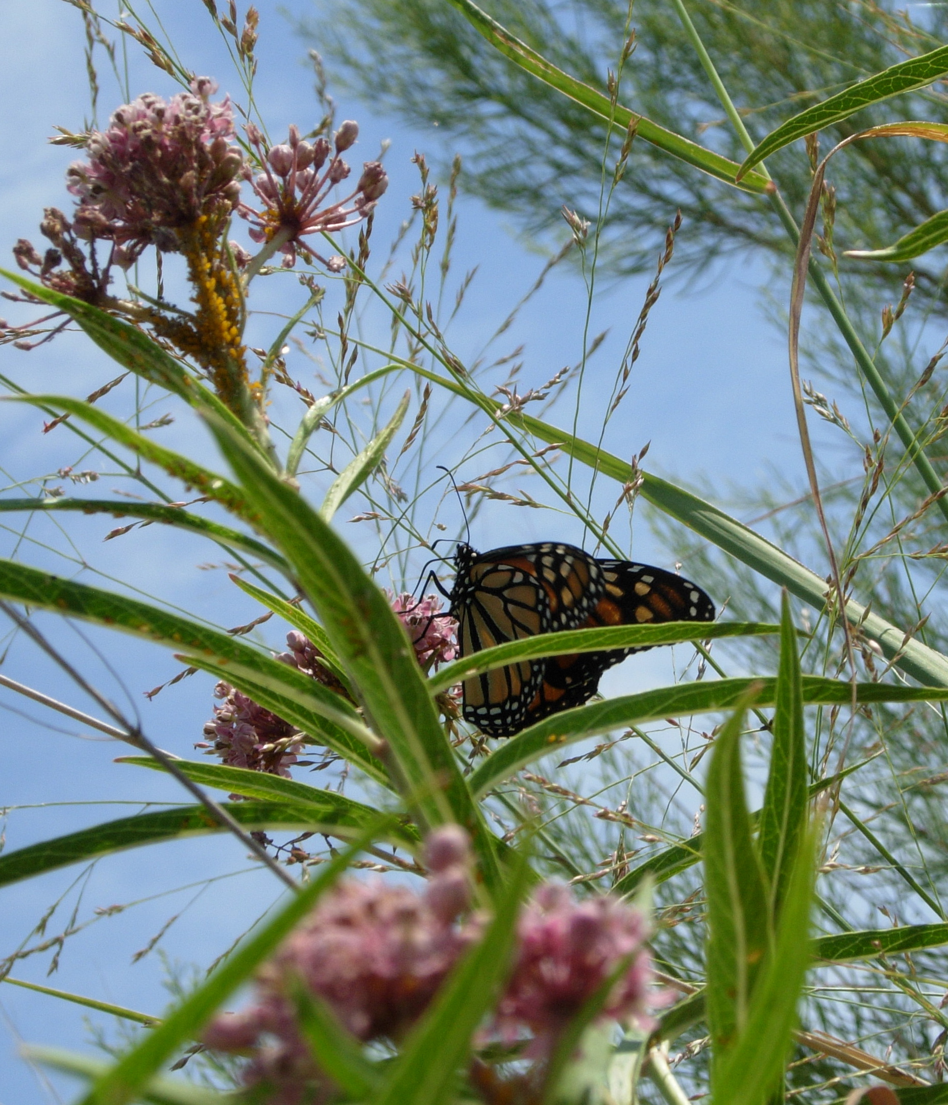 Monarch on Swamp Milkweed on the Llano River