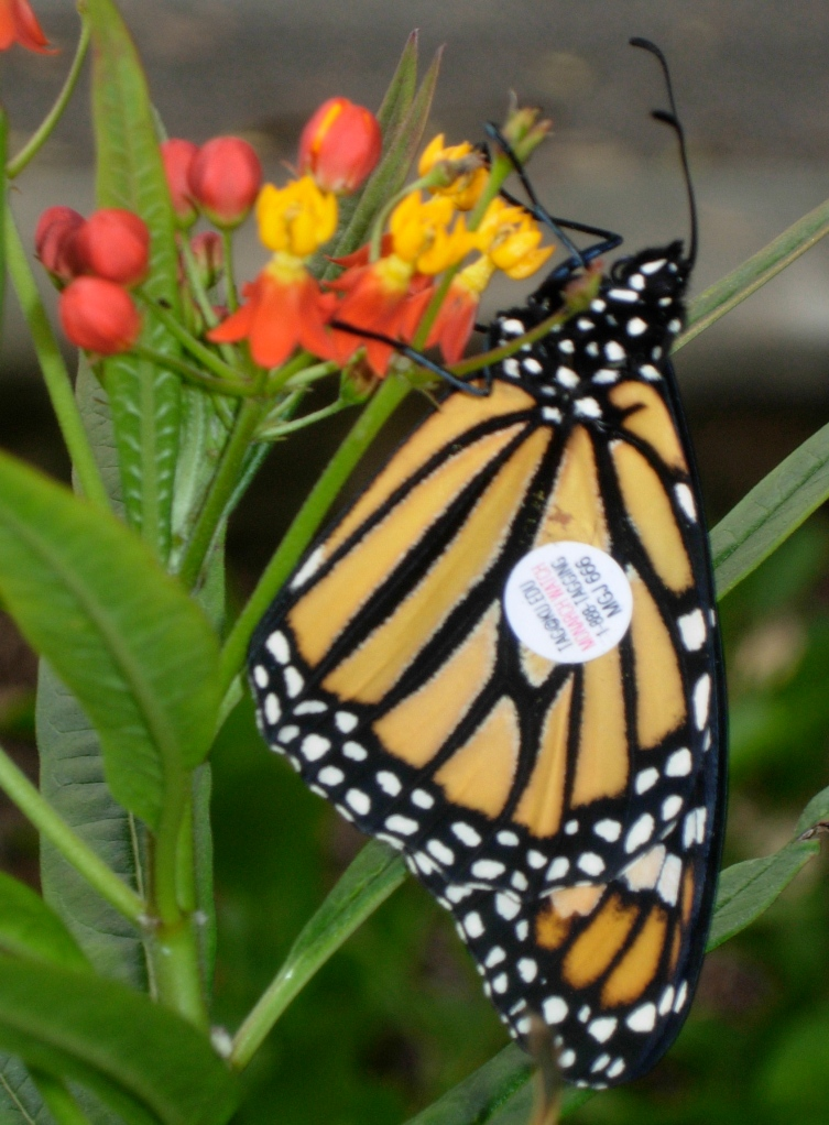 Tagged Monarch butterfly on milkweed