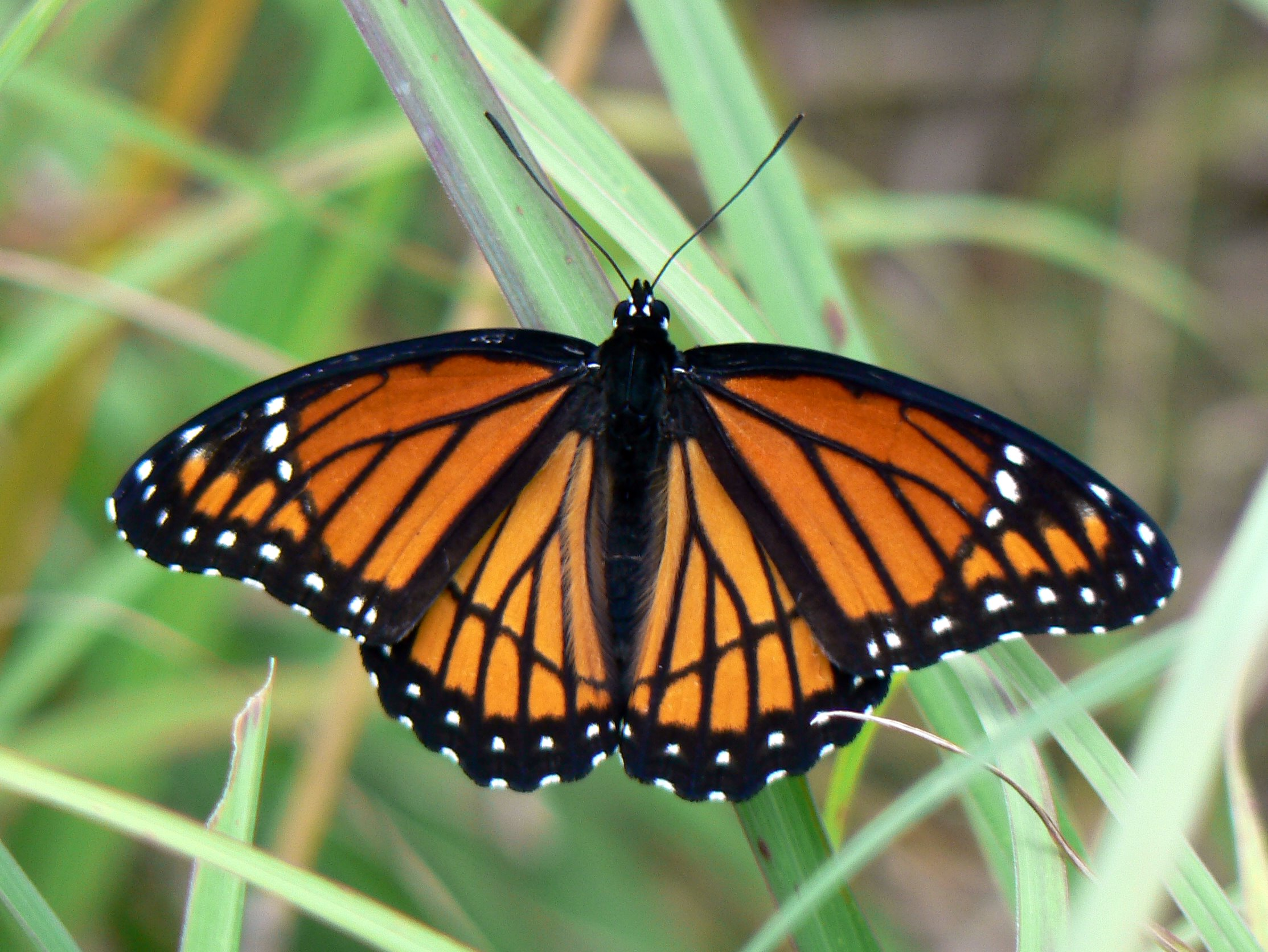 Viceroy Butterfly: A Mimic of the Monarchcan you tell the difference