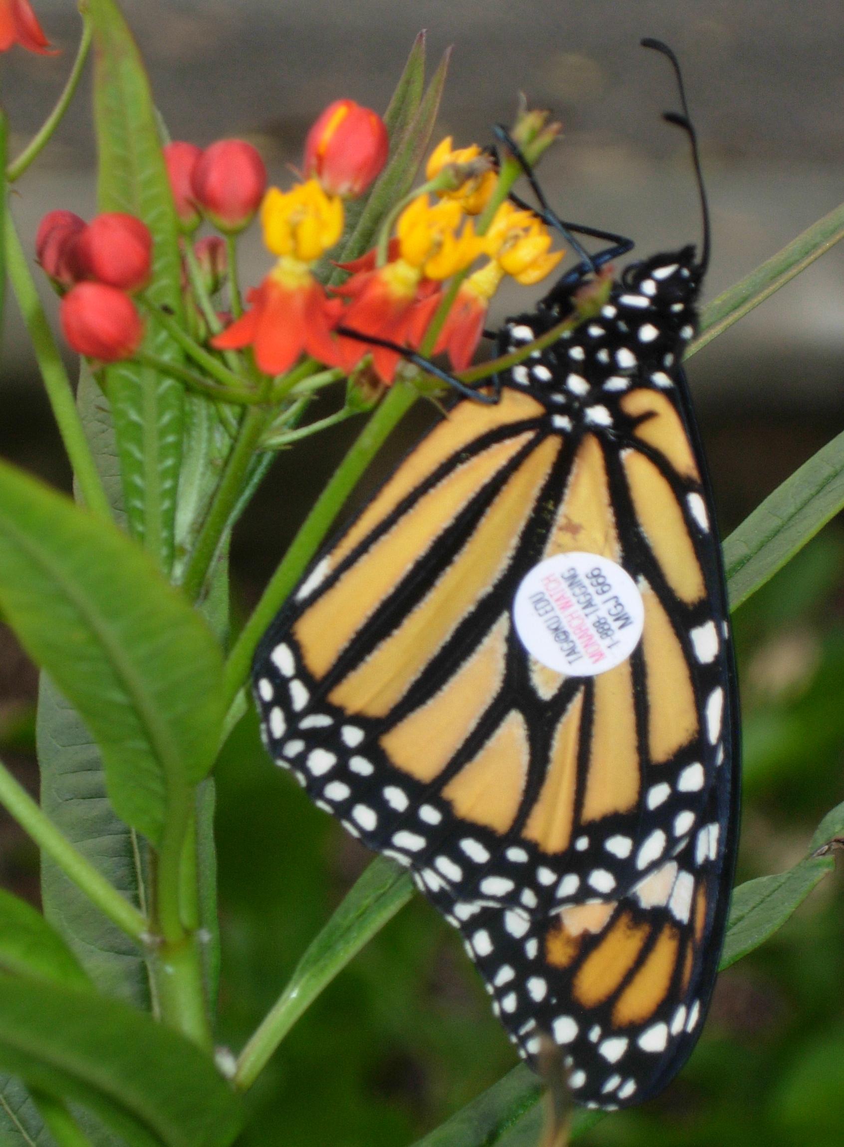 ButterflyFriendly Milkweed Plants  The Spruce