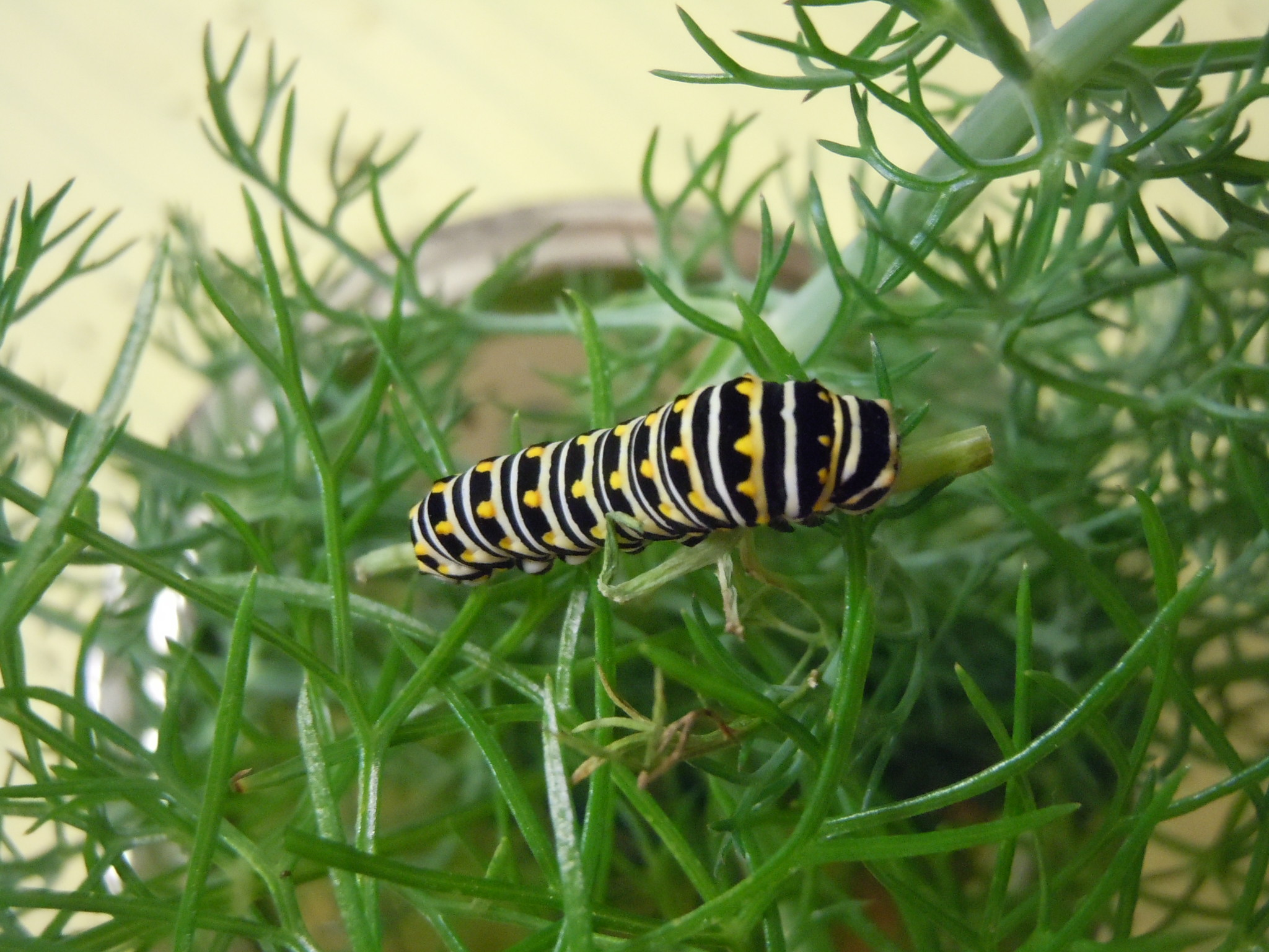 Eastern Swallowtail Caterpillar on Fennel