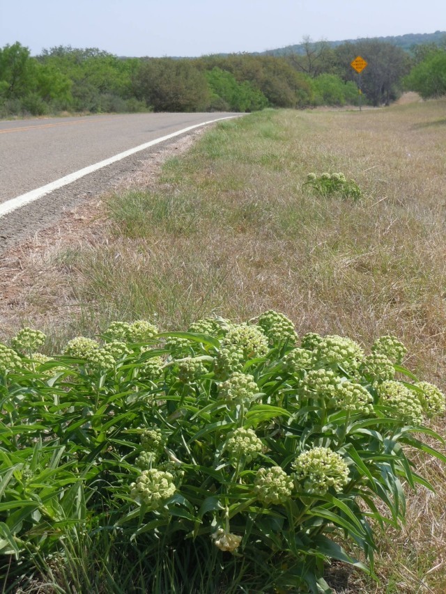 Antelope Horns milkweed on the roadside in the Texas Hill Country