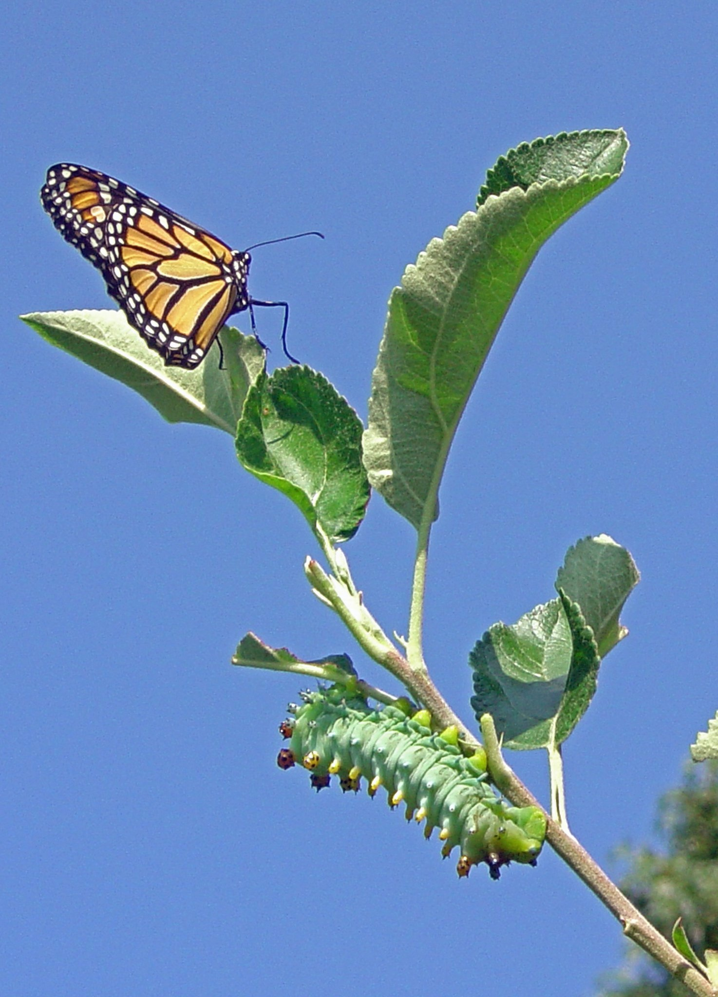 Monarch butterfly and Cecropia moth caterpillar share an apple tree stem