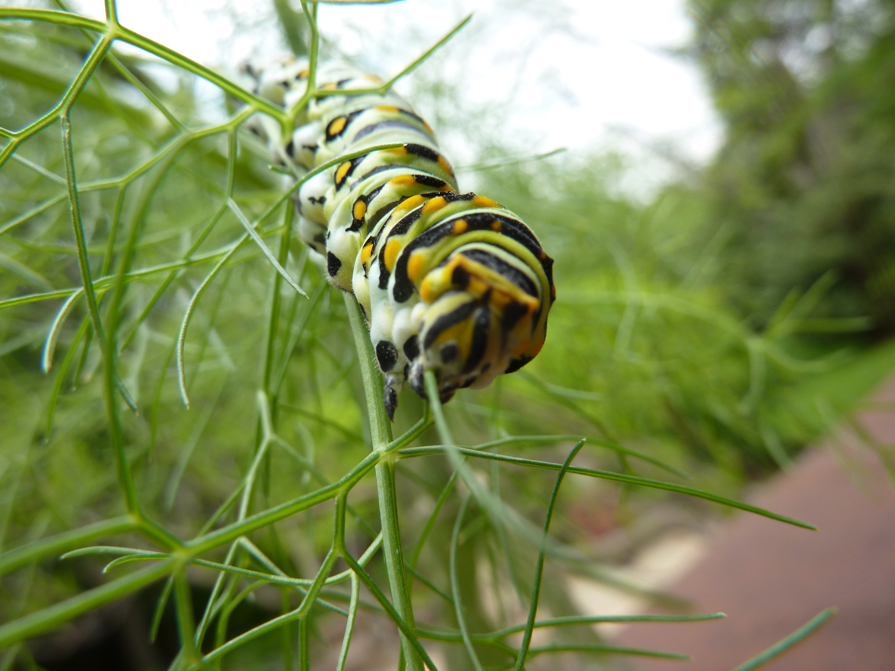 Eastern Swallowtail Caterpillar
