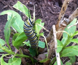 Chubby Monarch caterpillar on miikweed