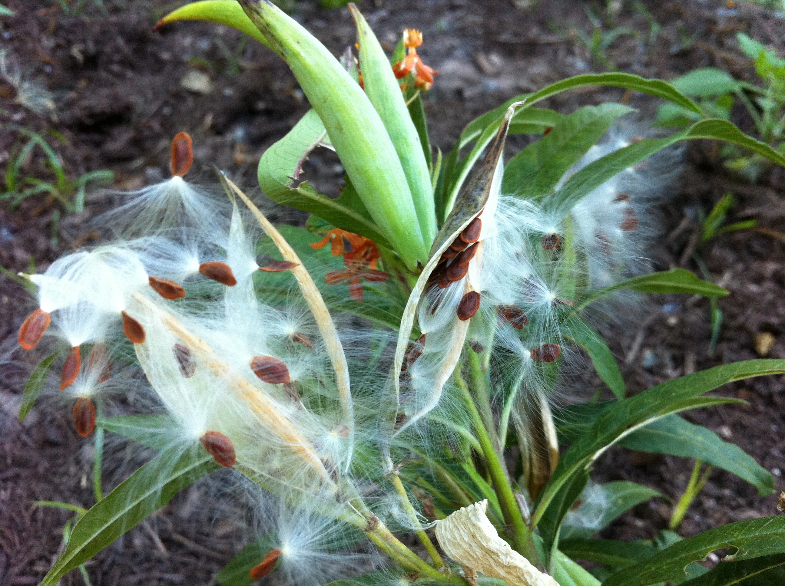 Tropical milkweed seedpods and fluff