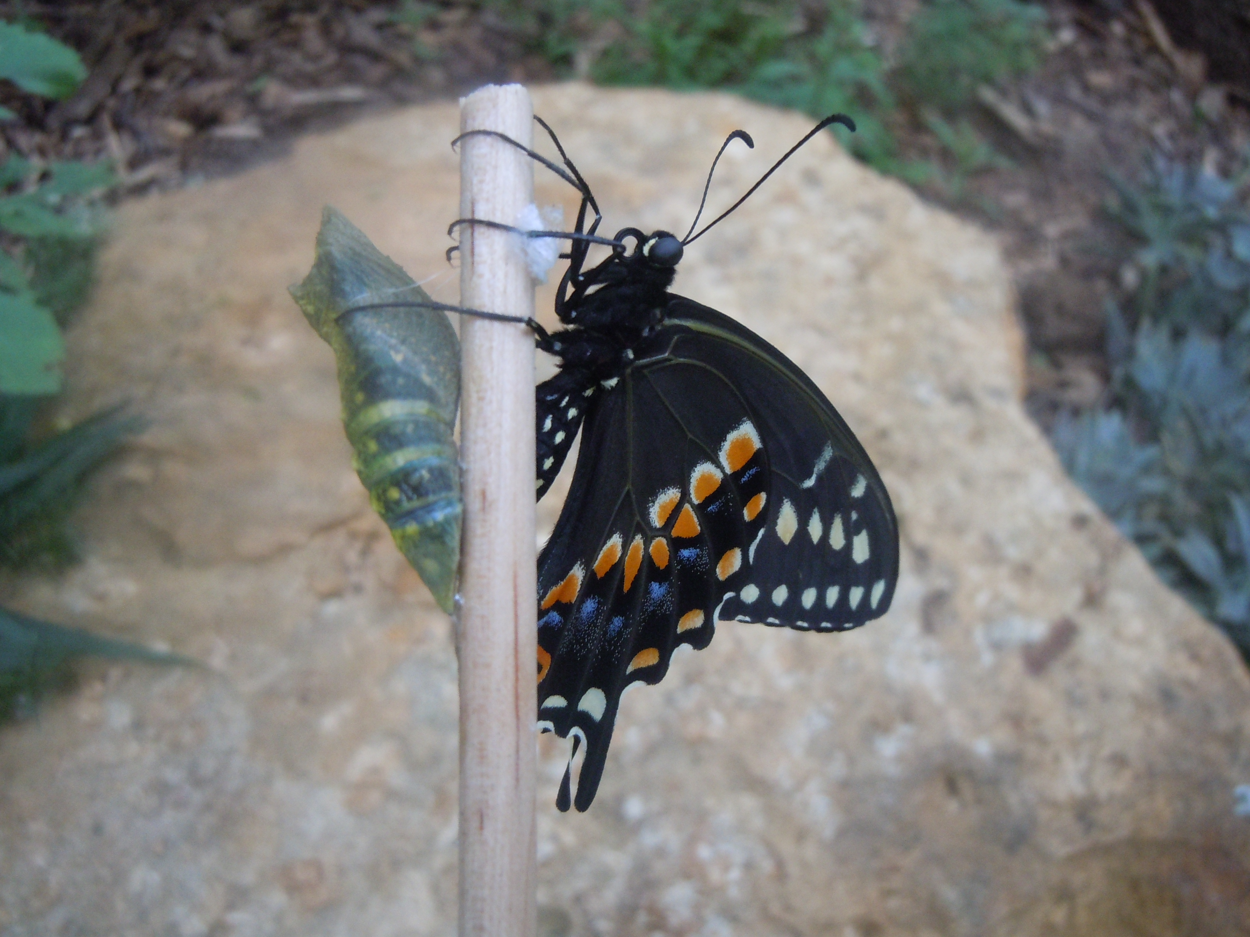Eastern Swallowtail and Sister Chrysalis on a Chopstick
