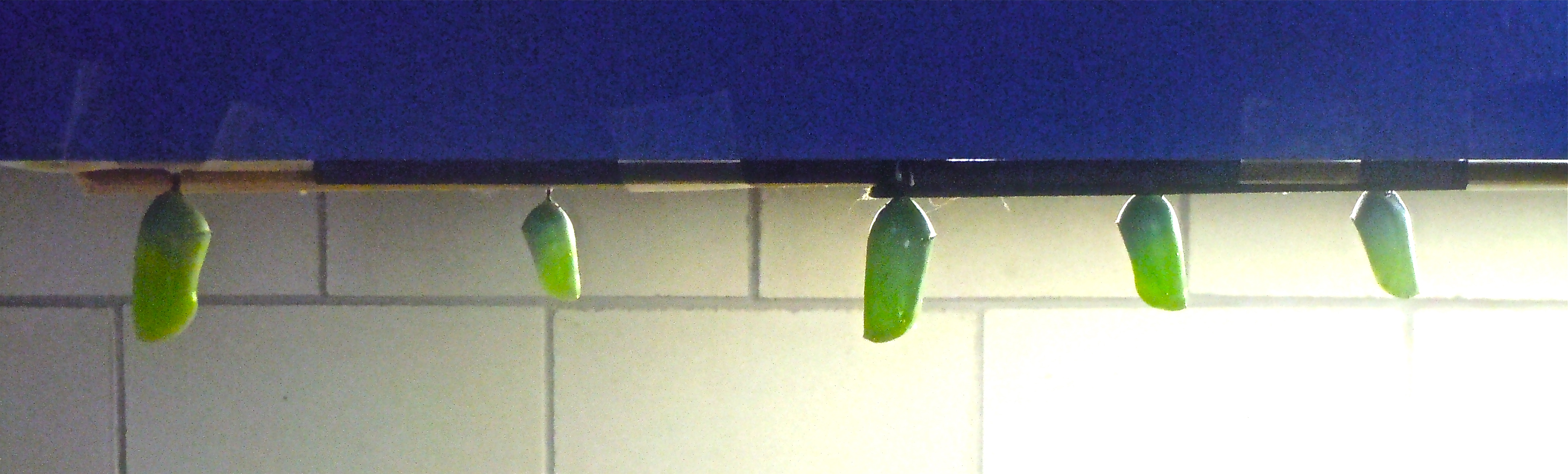 Monarch and Queen Chrysalises taped to Kitchen Counter