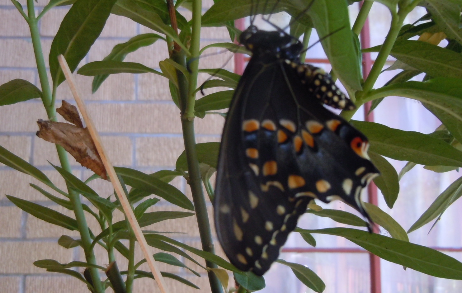 Eastern Swallowtail Hatches in June after forming chrysalis in October the prior year