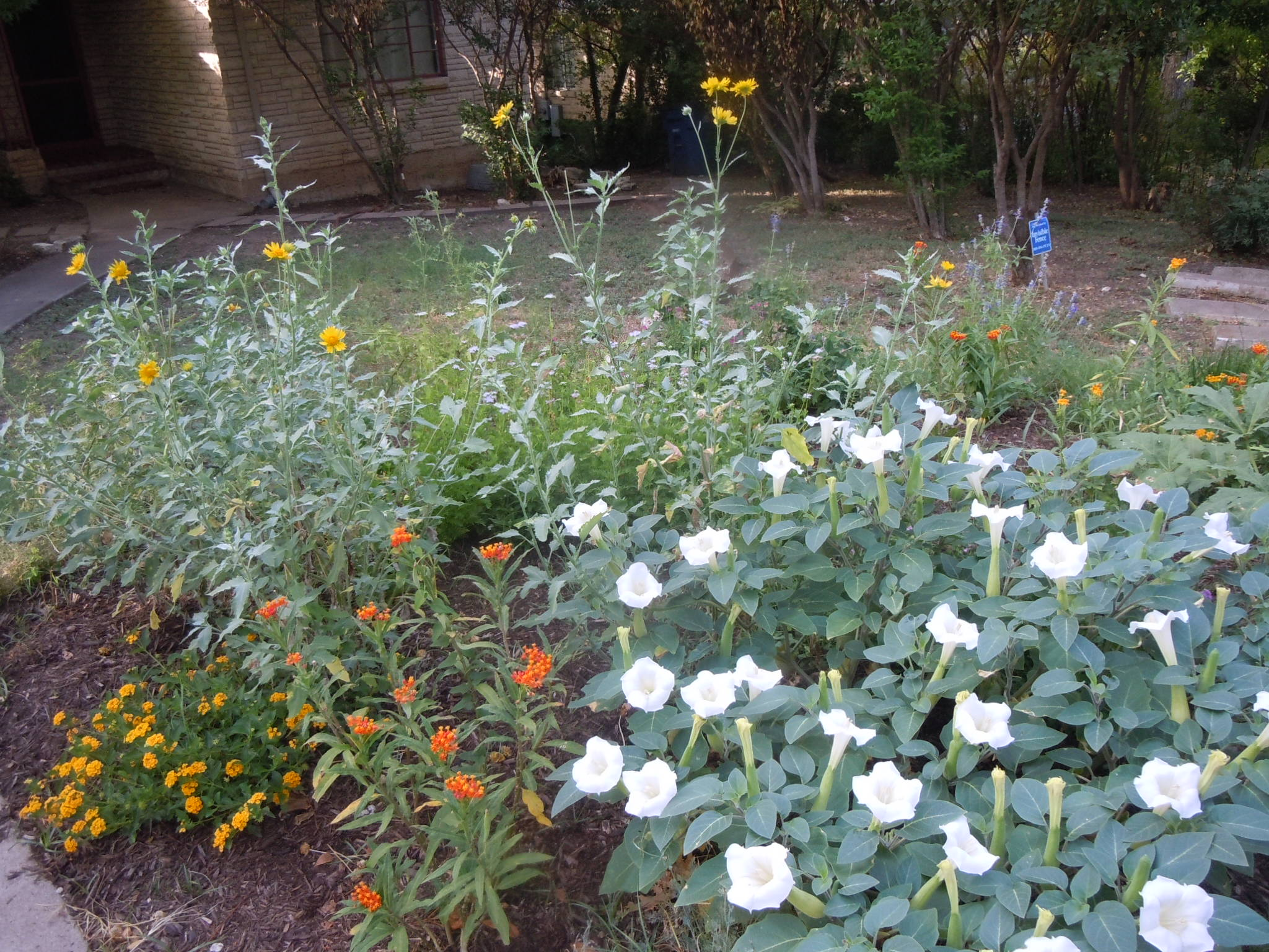 Cowpen Daisy, Jimsonweed, milkweed and lantana