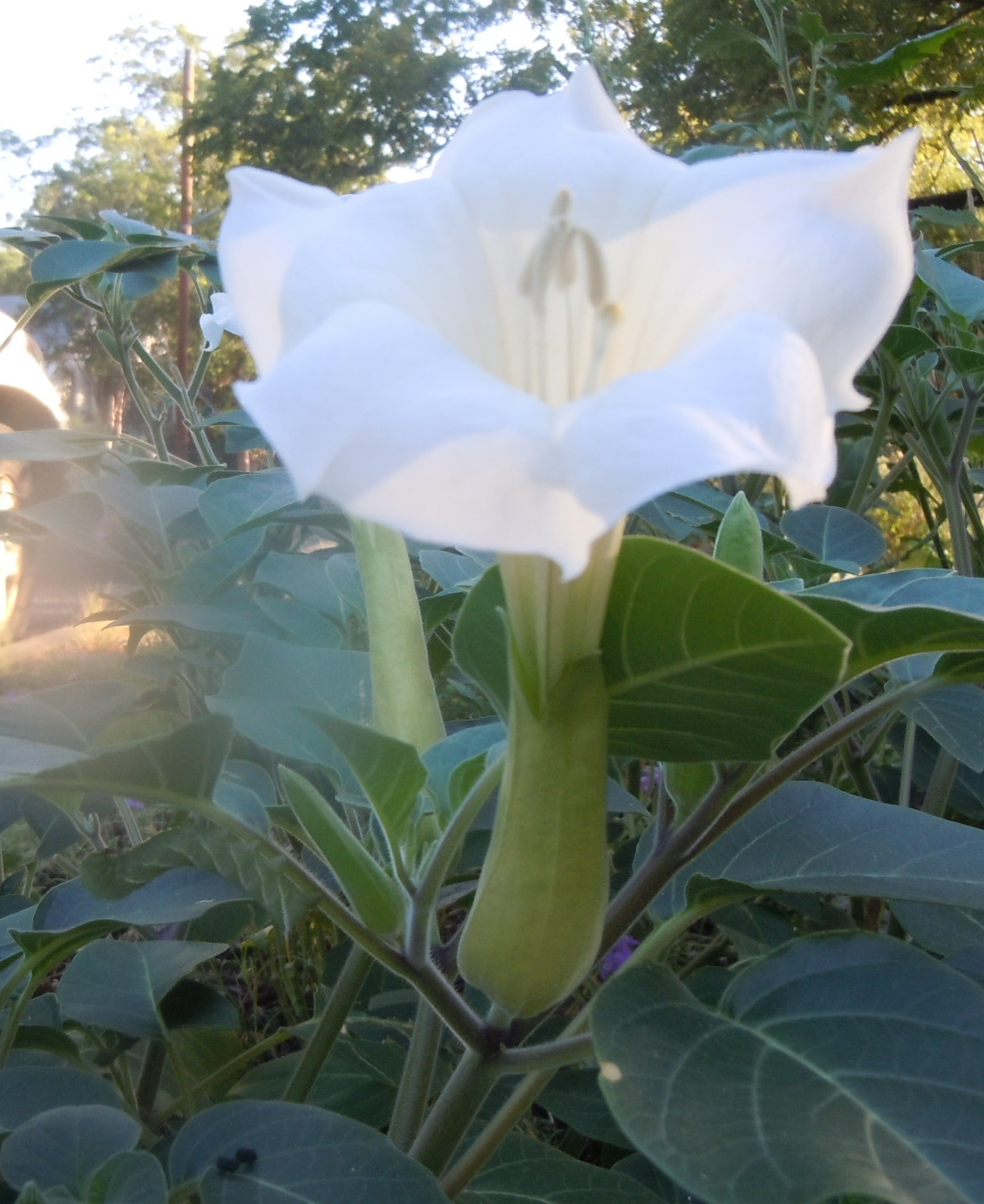 Jimsonweed bloom. Do you see the caterpillar?