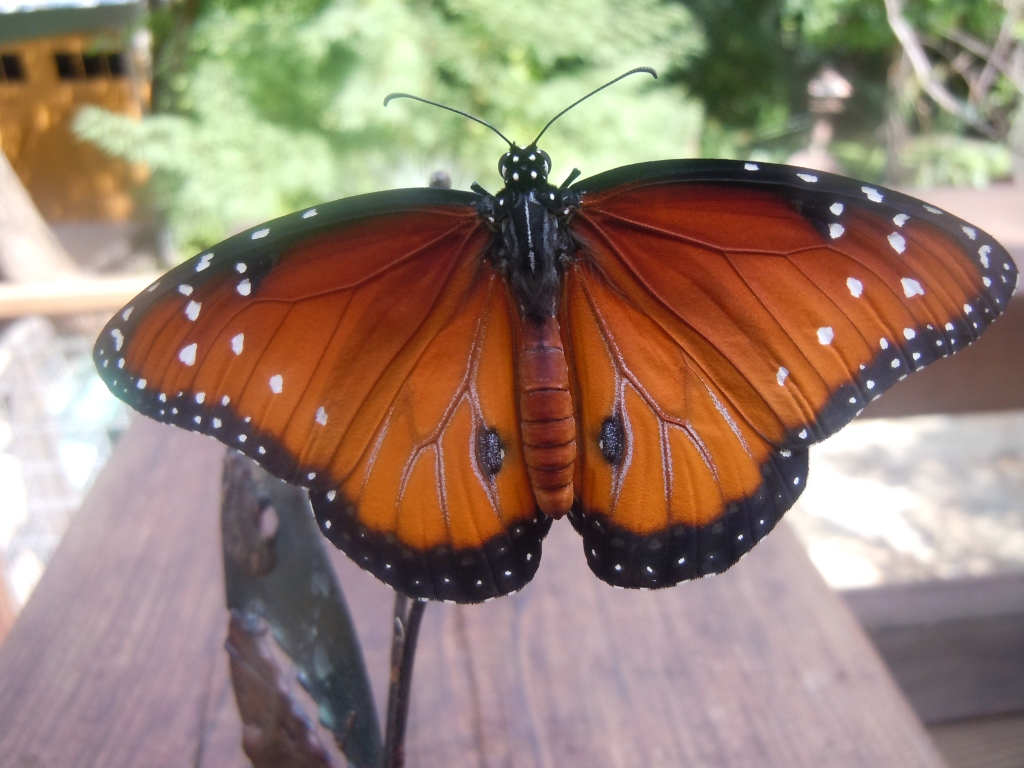 Queen butterfly, wings open
