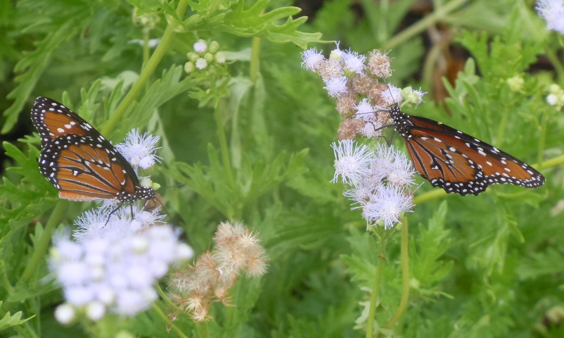 Queens on Purple Mistflower