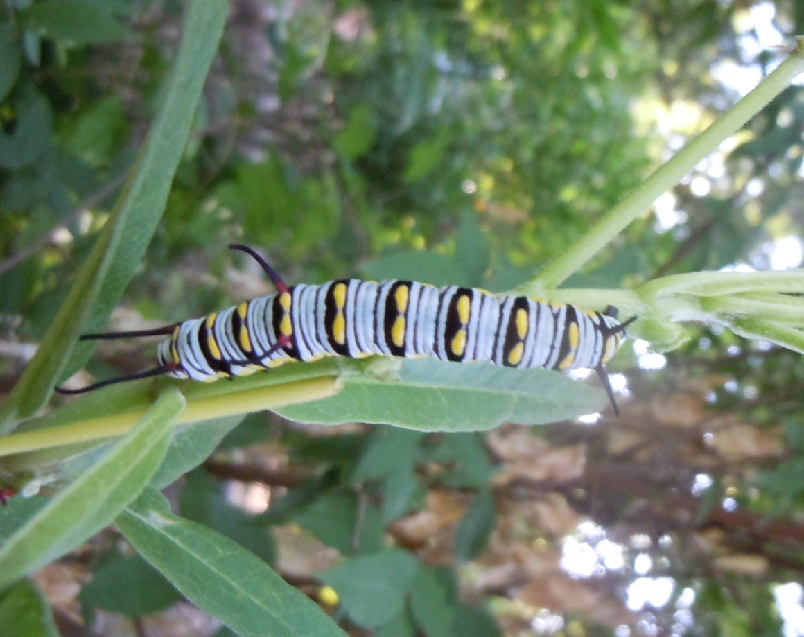 Queen caterpillar on milkweed