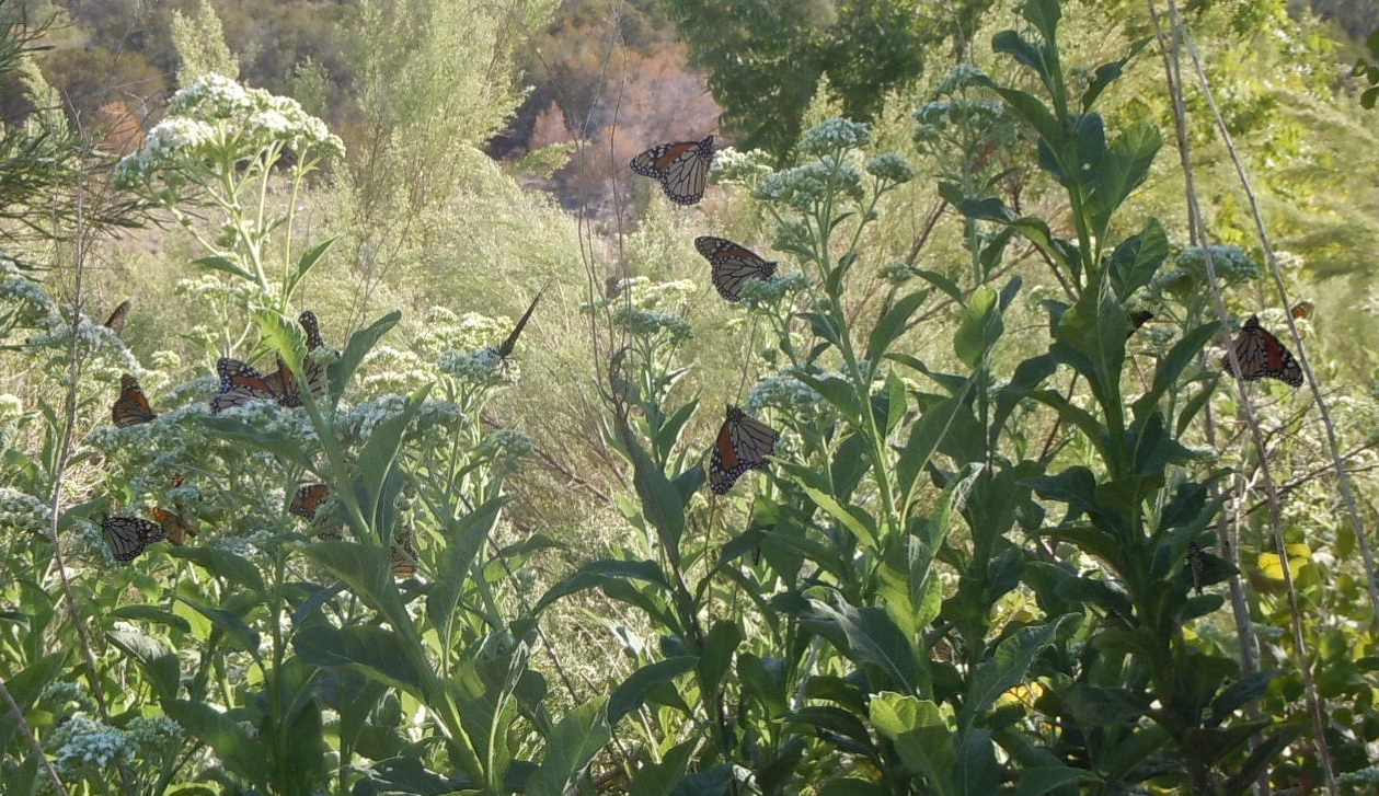 Monarch butterflies nectaring in the Chigger Islands in the Llano River on Frostweed