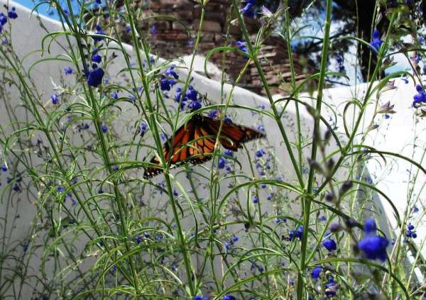 Monarch nectaring in Ft. Davis near Indian Lodge