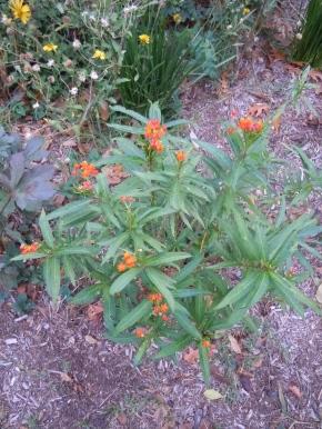 San Antonio milkweed, born in Alamo Heights, will return home after a stint in Austin
