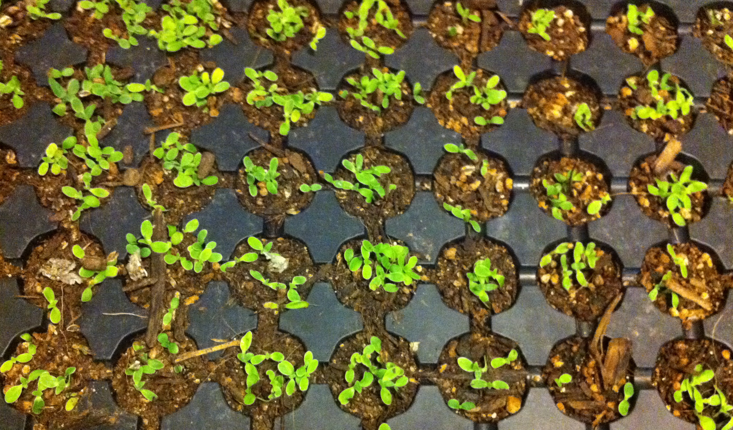 Cowpen Daisy seedlings in January 2011