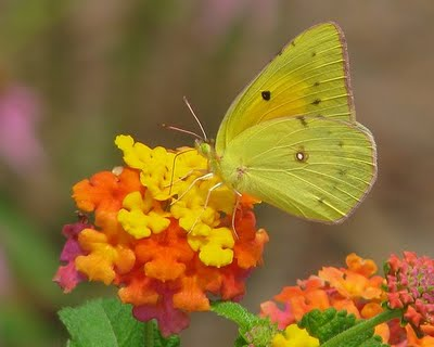 Sulphur butterfly on lantana, photo by hsny.org