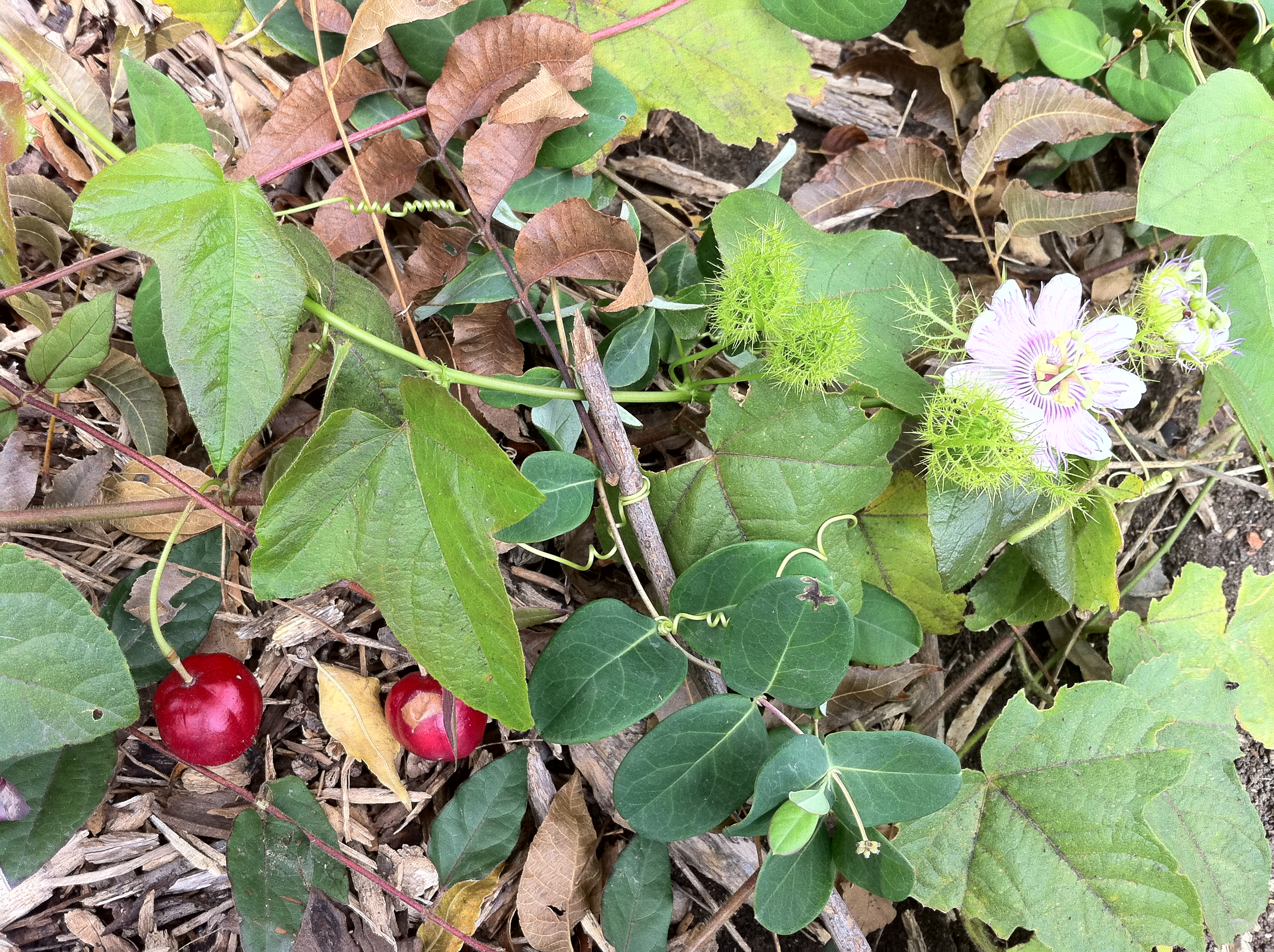 Passionflower and its fruit, the host plant to the Gulf Fritillary and Zebra Longwing, on the San Antonio Riverwalk