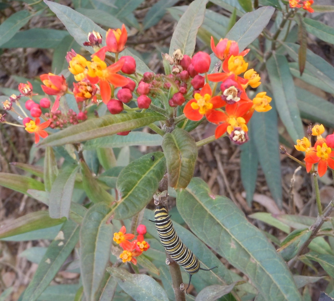Tropical milkweed on San ANtonio River Walk