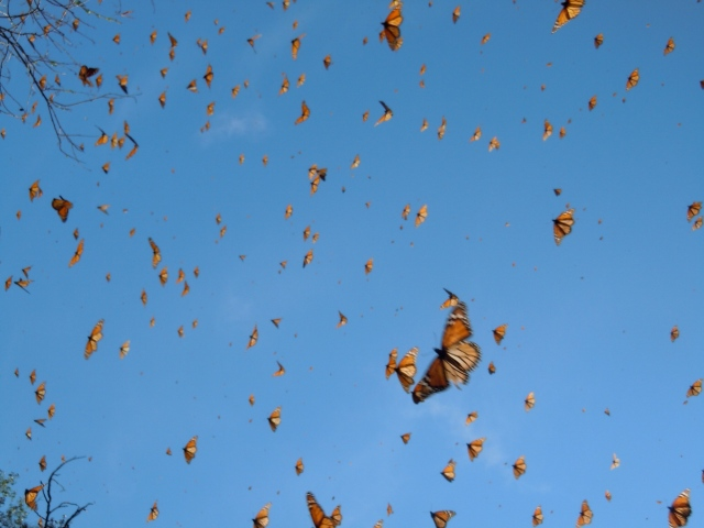 Monarch butterflies in Michoacan