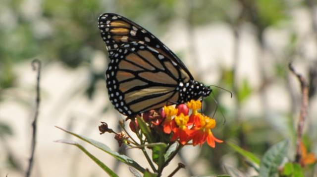 Resident Monarch butterfly on the San Antonio River Museum Reach